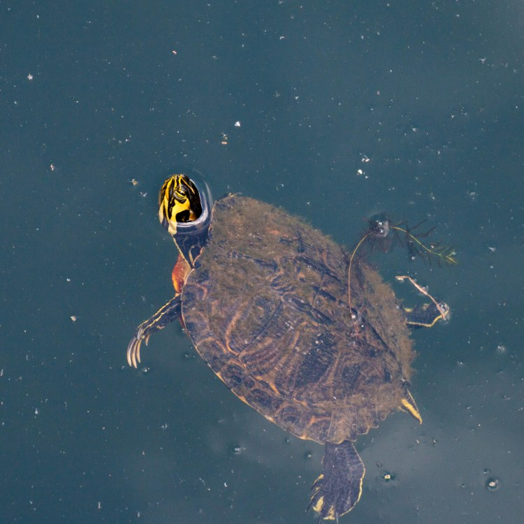 Turtle Swimmin'