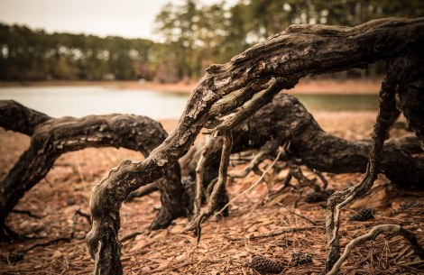 Roots on the lake